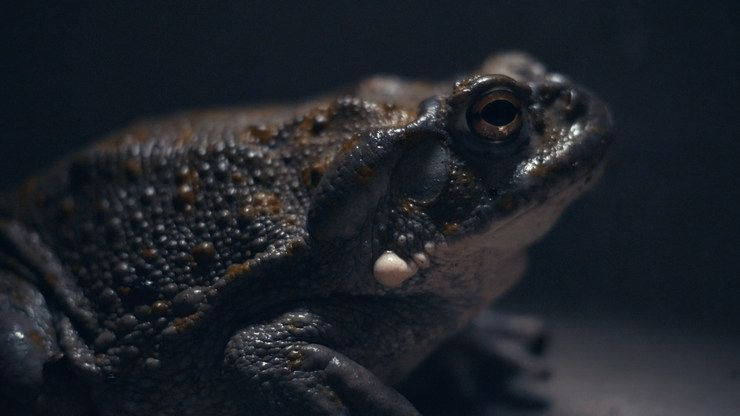 Bufo Alvarius – žába halucinogen