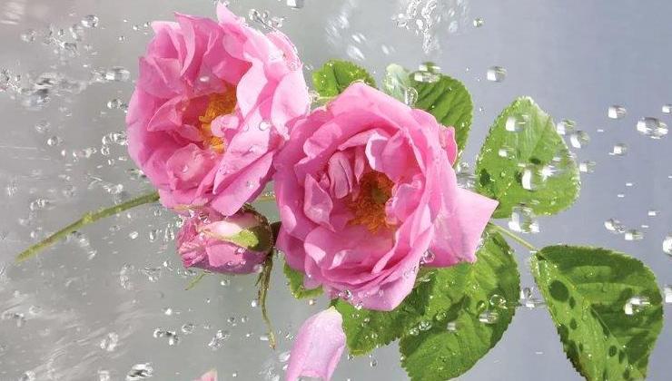 Růže je lékem, symbolem, darem i pohádkou